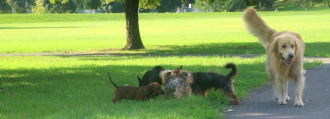Dogs playing in Grey Lynn Park