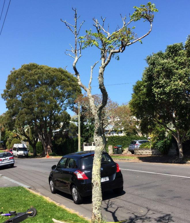 Neglected roadside tree in Grey Lynn