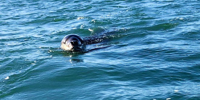 Leopard seal sighting near Coxs Bay. Could it be Owha?